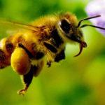 Неестественный отбор: почему гибнут пчёлы?
