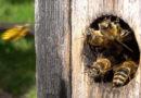 «Клубная» жизнь пчёл
