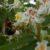 Время собирать цветы… каштана